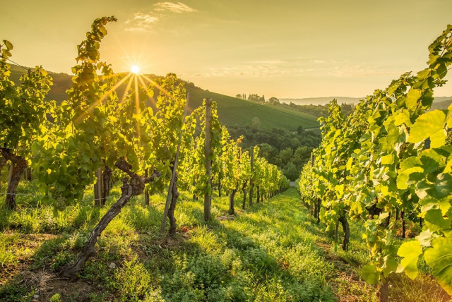 Sun setting over a vineyard