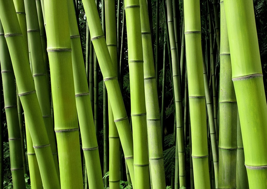 Rows of bamboo trees